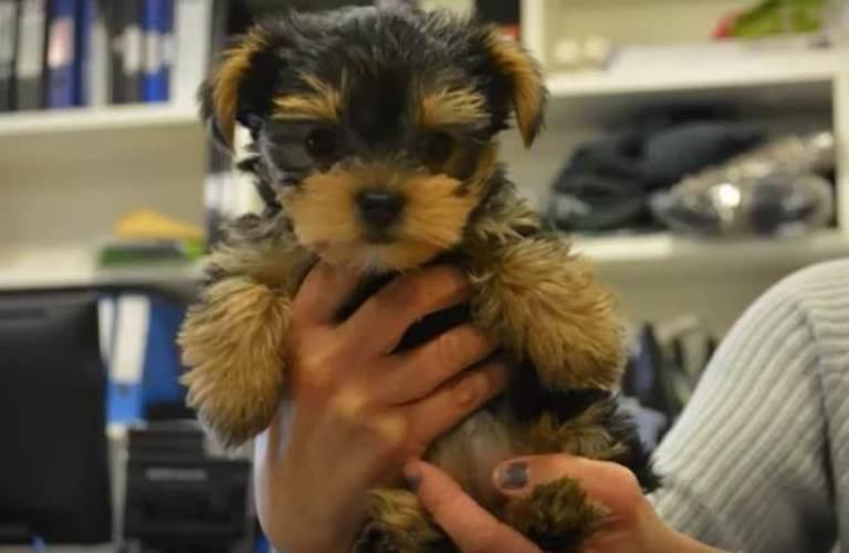 Из-за ошибки заводчика щенок родился слепым. Его ожидала смерть