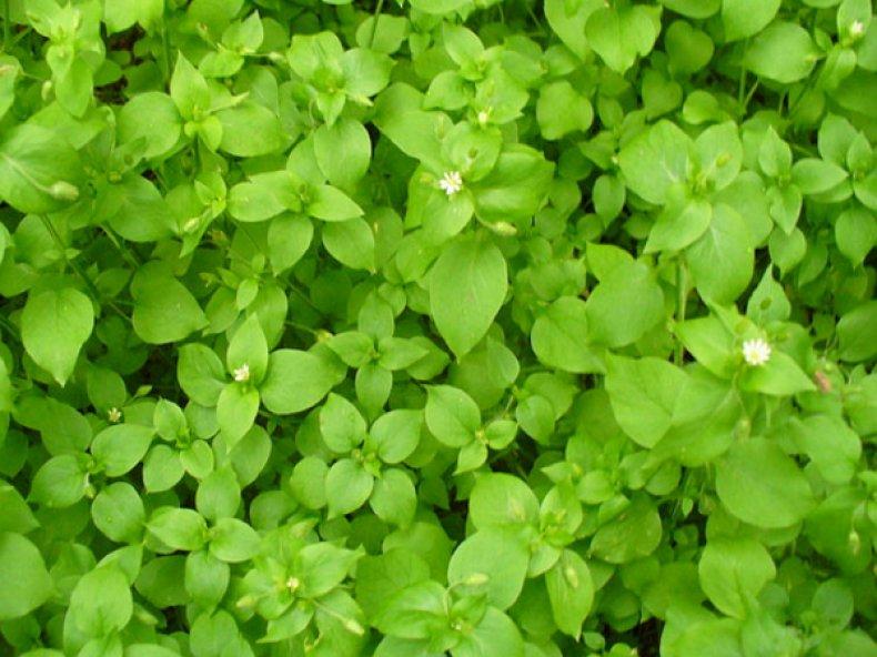 мокрица трава полезные свойства в огороде