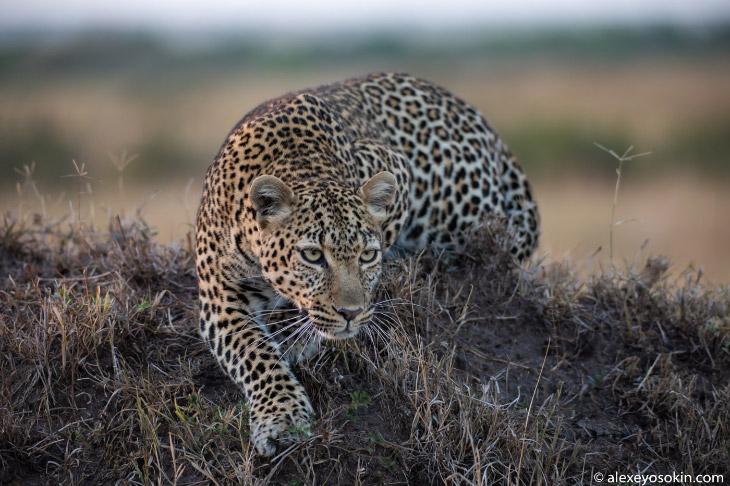 Как охотится леопард