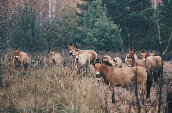 На заброшенных улицах Чернобыля сняли волков и лошадей Пржевальского