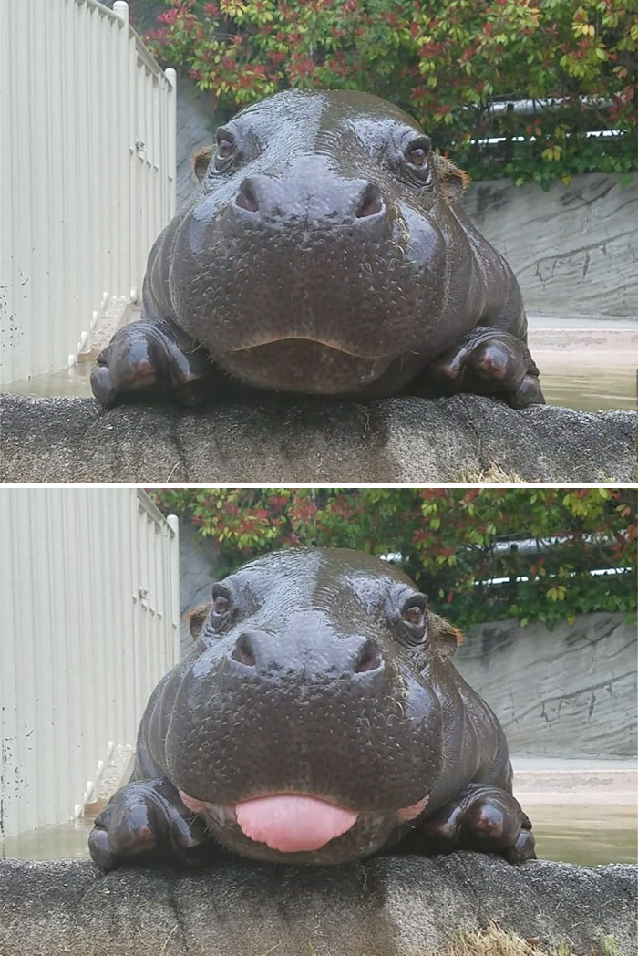 10+ Baby Hippos That Will Make Everything Better