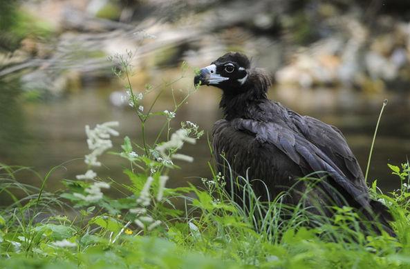 Самую большую в России птицу спасли от гибели и выпустили на волю