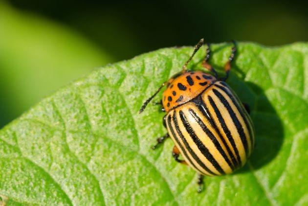 Хорошая новость: колорадский жук временно отступает