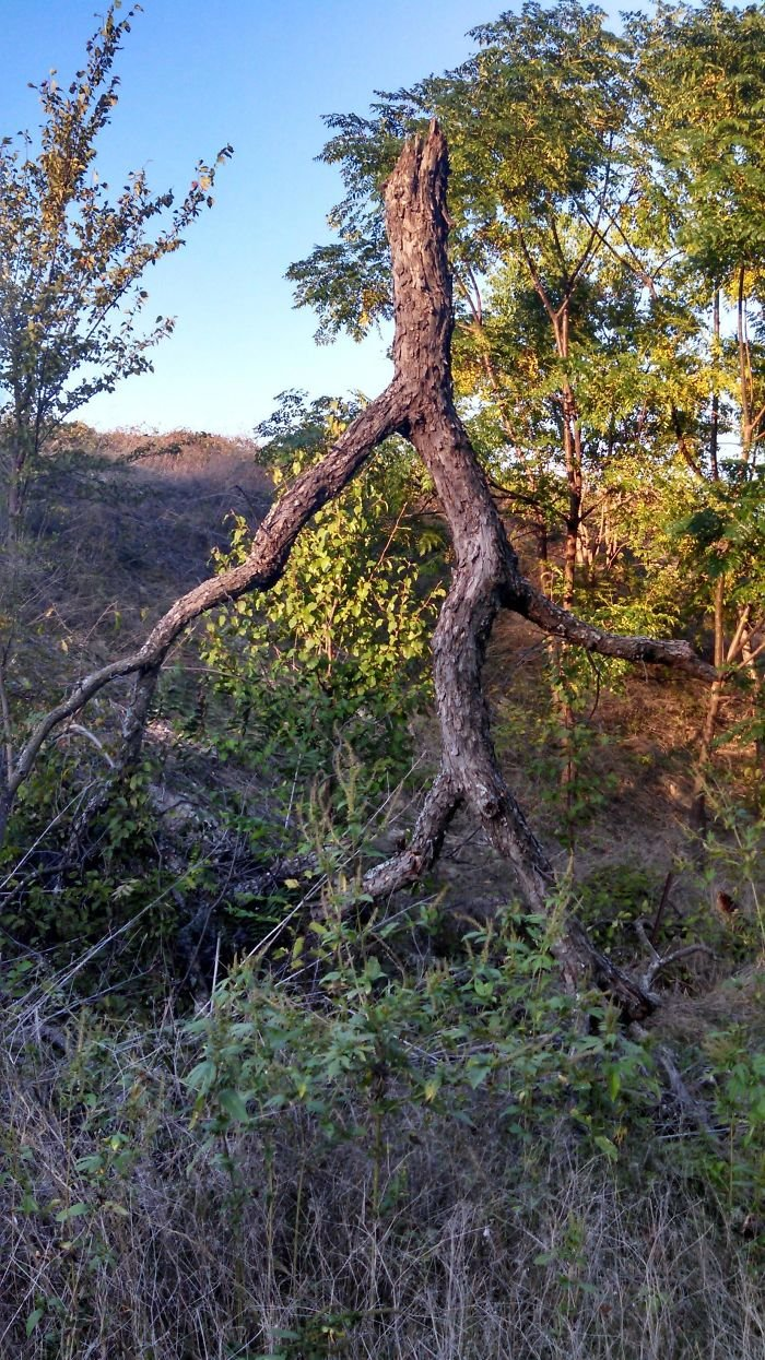 20. Дерево на прогулке дерево, деревья, обман зрения, парейдолия, похоже да не то же, похоже на, похоже на лицо