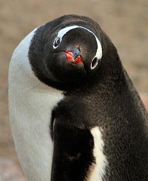 Милейшие создания - пингвины