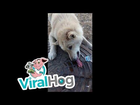 Прохожий спас собаку, которая примерзла языком к канализационному люку