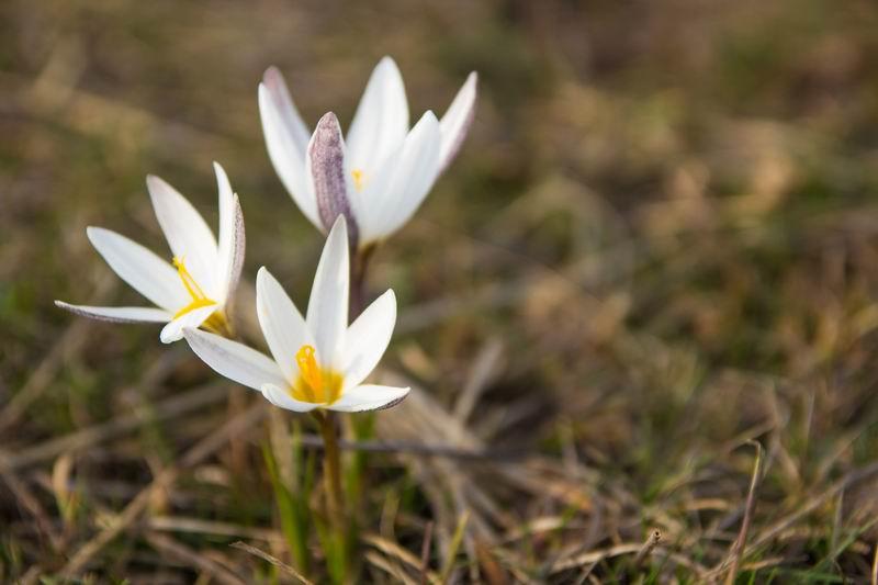 первоцветы крыма