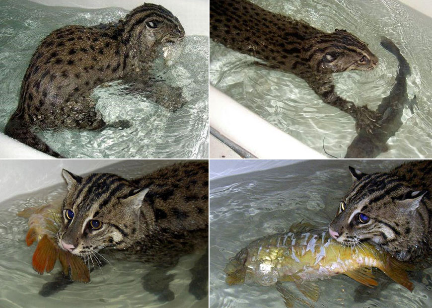 содержание кота рыболова