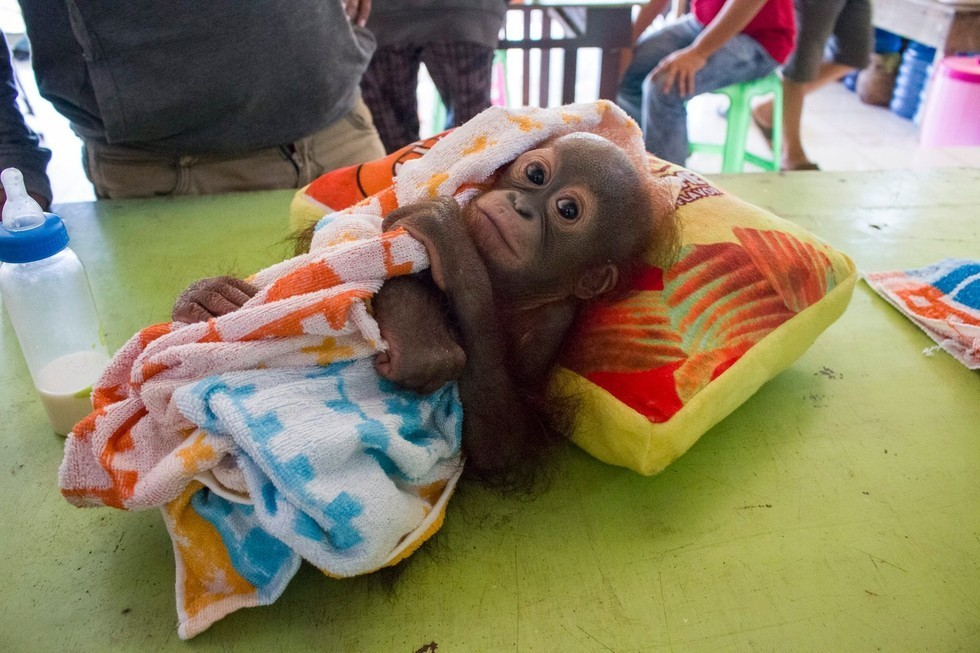 Молодой орангутан, в которого стреляли, демонстрирует, насколько он силен