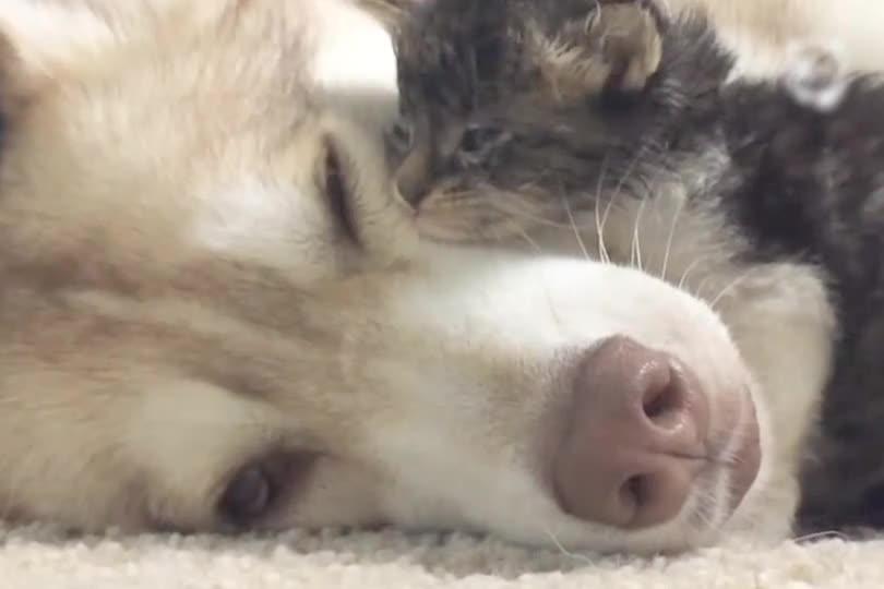 Kitten Has A Husky Mama