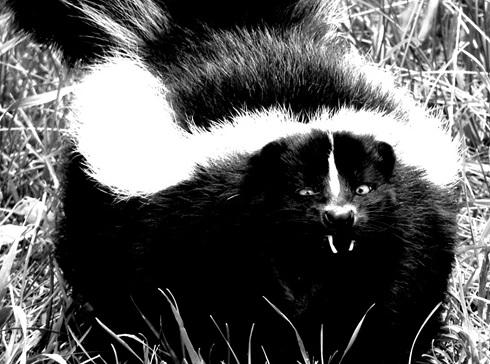 В мире животных: обнаружен новый вид скунса – вашингтонский  свинорылый