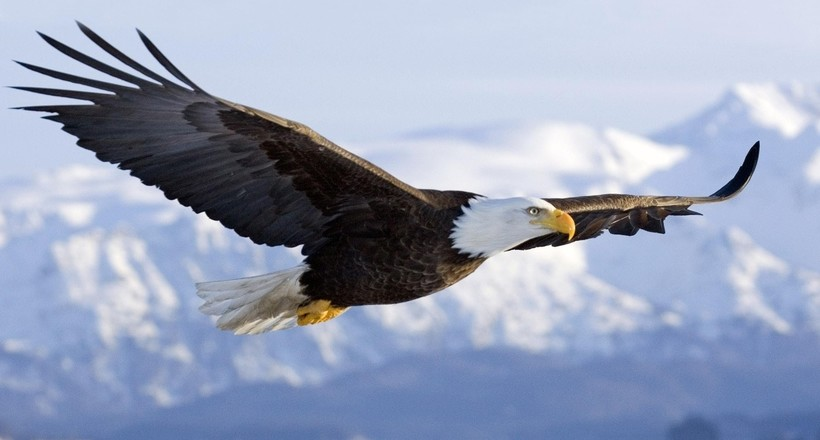 150994 animals bald eagle birds