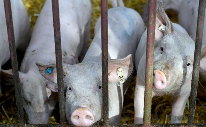 Экс-президент Эстонии: Замороженным в камерах людям свинина не нужна