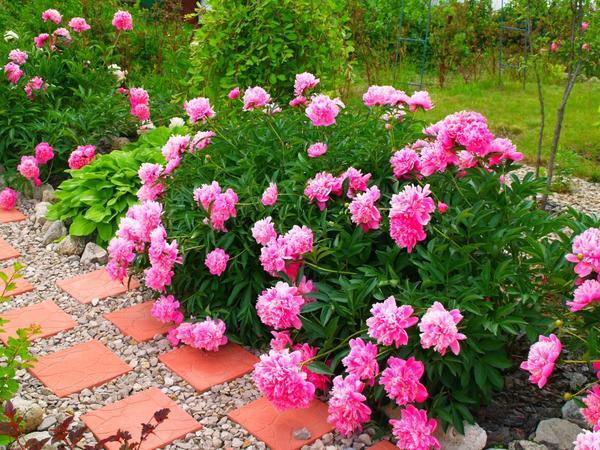 Мой любимый цветник возле дома