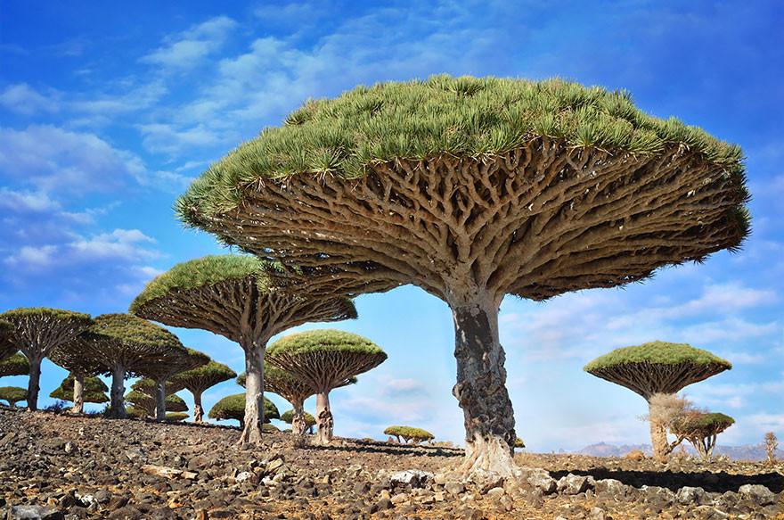 9. Драцены киноварно-красные, остров Сокотра, Йемен земля, красота, планета, природа