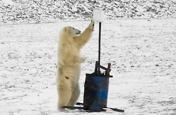Опубликованы неудачные селфи медведя-неумехи с острова Врангеля