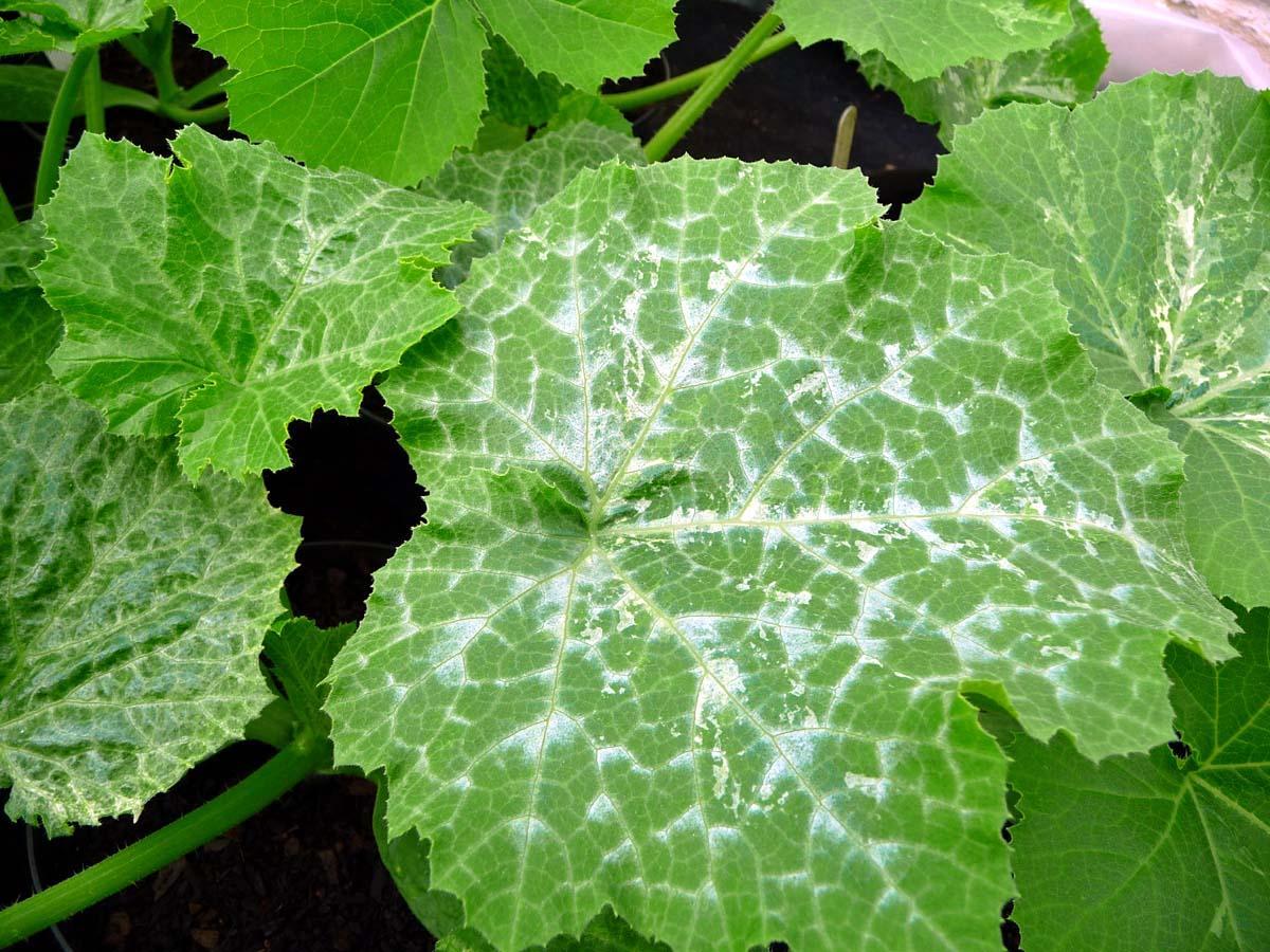 белая мозаика огурца белые пятна на листьях огурца