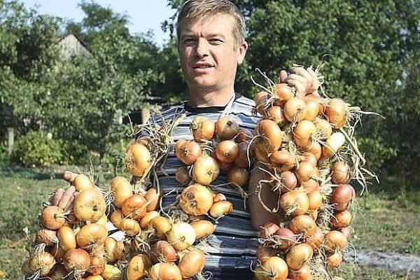 Теперь я каждый год получаю большой урожай лука: 4 простых совета