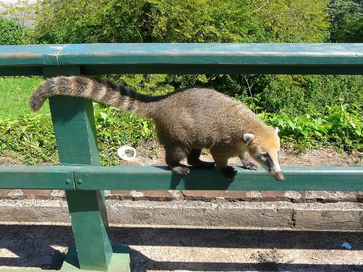 Животные национального парка Водопады Игуасу. Носуха