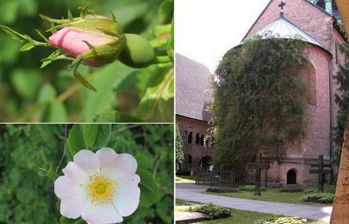 Тысячелетняя роза - цветок, переживший бомбежки, пожары и разрушения