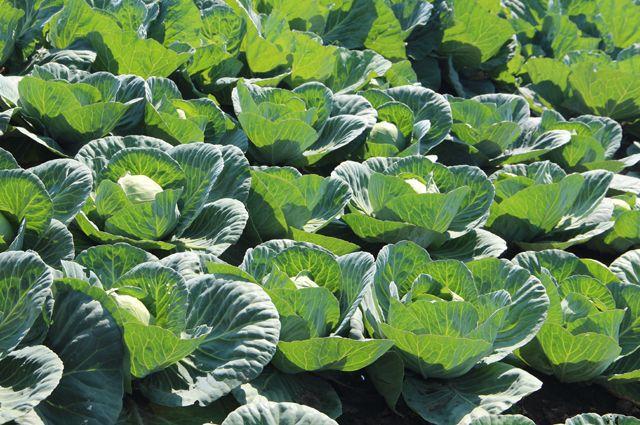Вот какие сорта капусты дадут хороший урожай