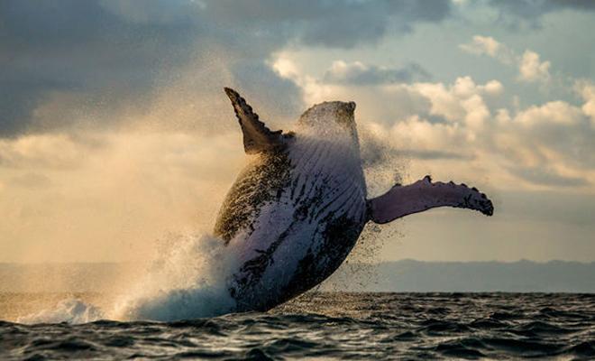 Стая косаток напала на кита с детенышем и получила неожиданный отпор