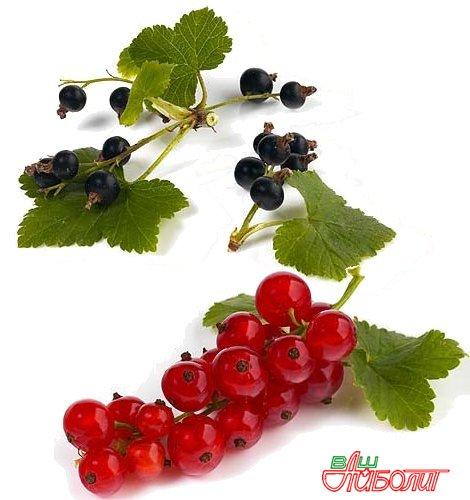 Полезные свойства красной и черной смородины
