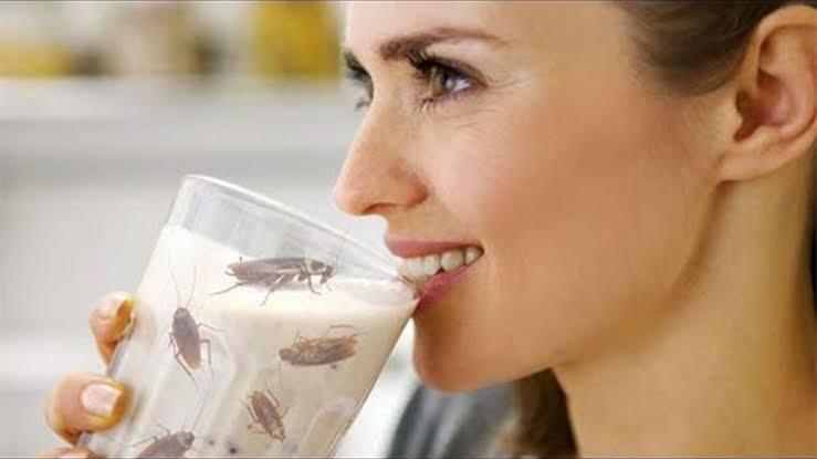 Тараканье молоко — эликсир здоровья