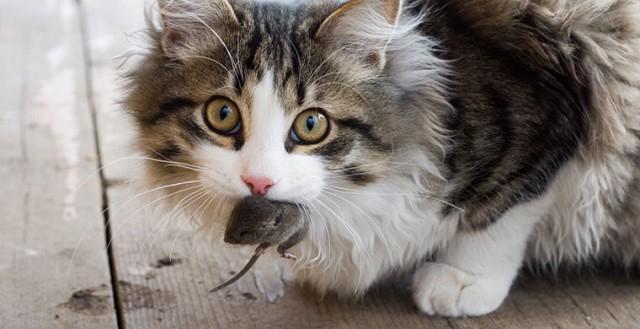 Почему кошки приносят пойманных мышей хозяевам?