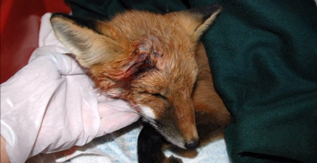 Спасение маленькой лисички