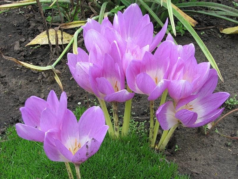 Фото цветка безвременник