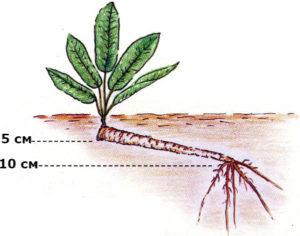 как растет корень хрена