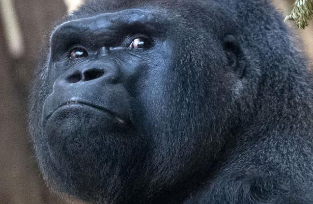 Американцы создали и скрывали от мира гибрида обезьяны и человека