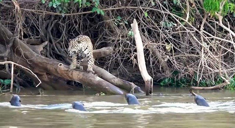 В Бразилии гигантские выдры прогнали ягуара с реки