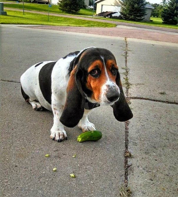 I Present To You Duffy, My Cucumber Stealing Bassett Hound