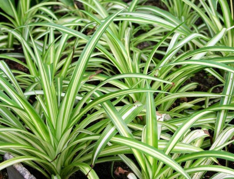 Зеленый хлорофитум
