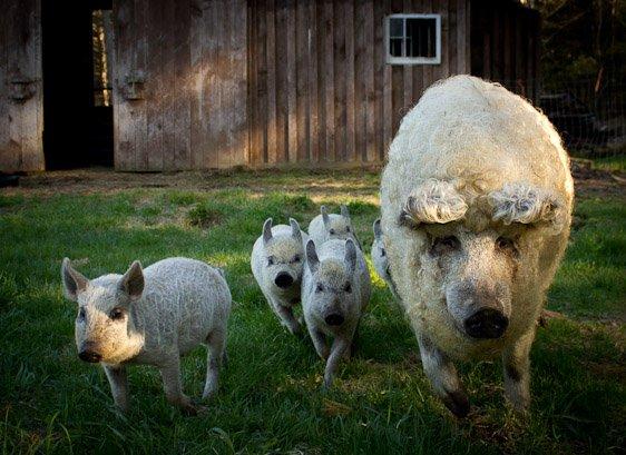 Свиньи породы венгерская пуховая мангалица (26 фото)