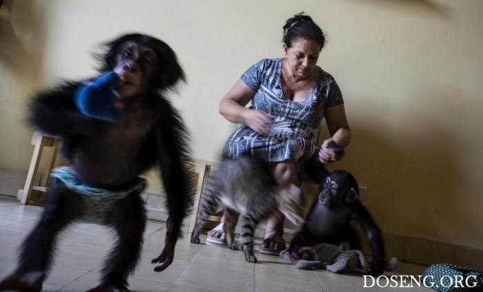 Кубинский зоолог выхаживает …