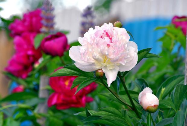 Как вырастить пионы: советы по уходу за многими любимым цветком