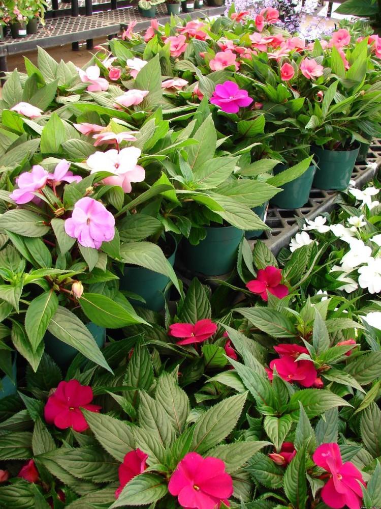 Красные и розовые лепестки цветка бальзамина