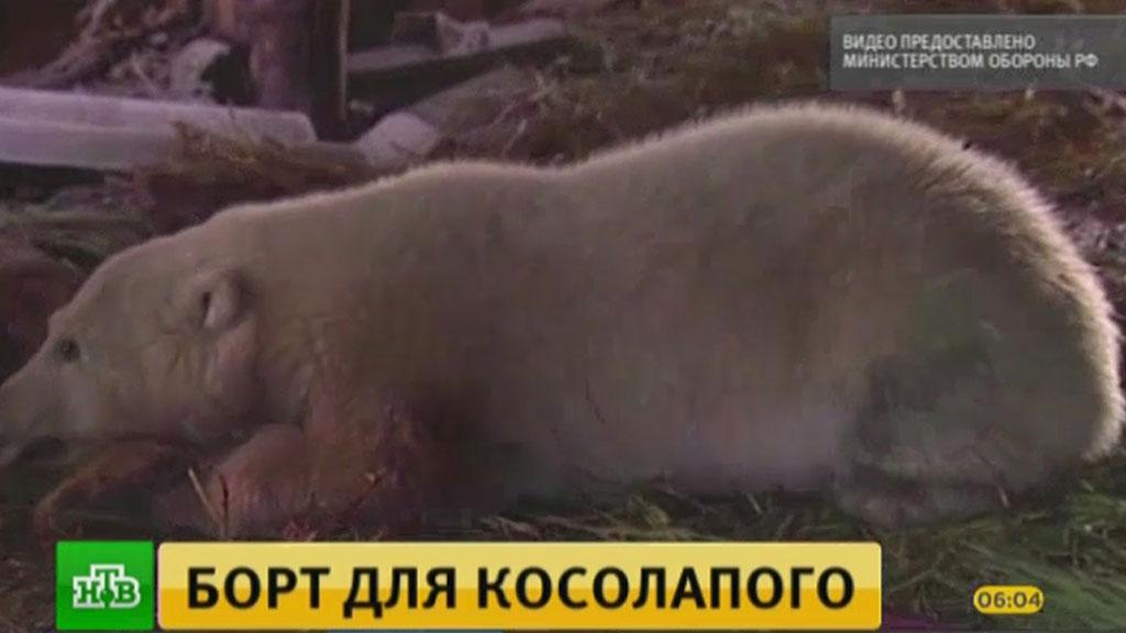 Погибающего на Чукотке белого медвежонка спасли по личному приказу Шойгу