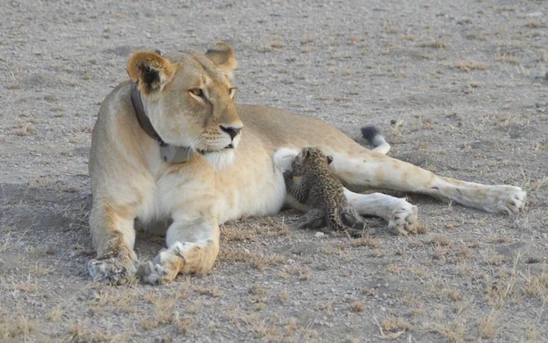 Дикая львица начала выкармливать детёныша леопарда