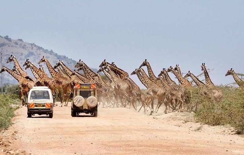 Интересное зрелище: 30 жирафов переходят дорогу в заповеднике Масаи-Мара