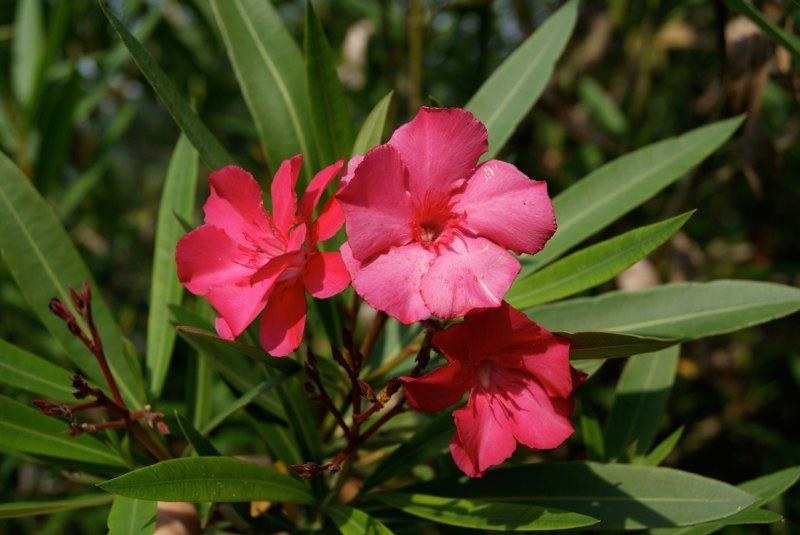 Цветок олеандр и описание