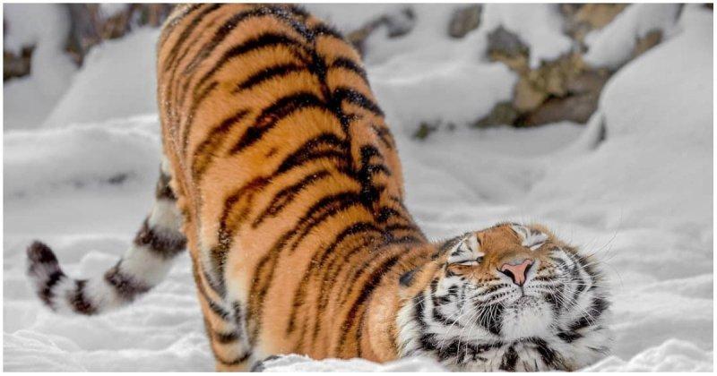 Трехлетняя тигрица неудачно прогулялась по тонкому льду
