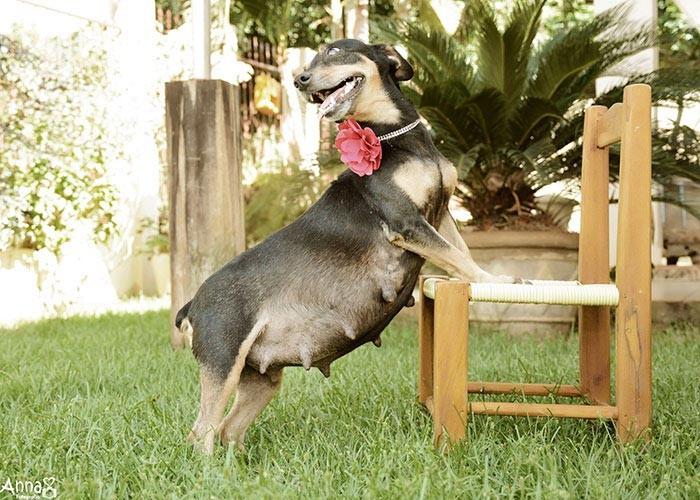 Блестящая фотосессия беременной собаки.