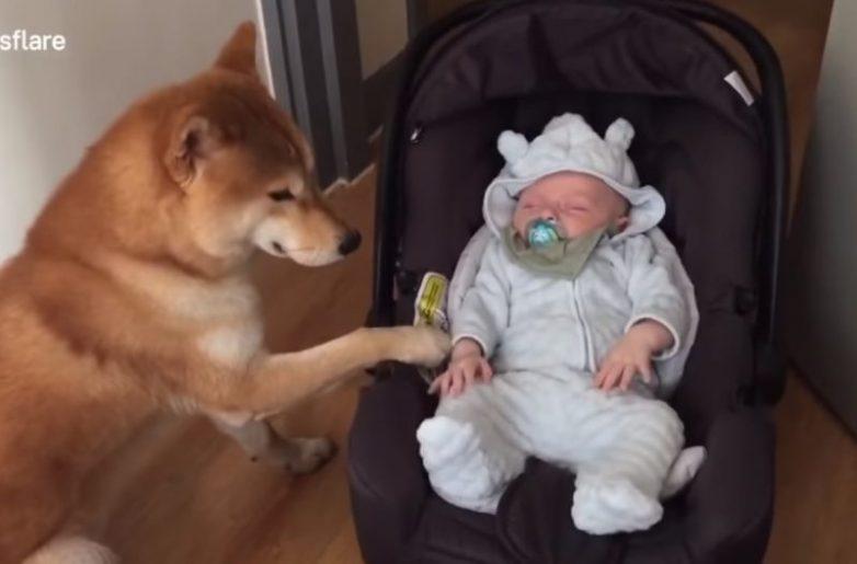Пёс, который впервые увидел младенца