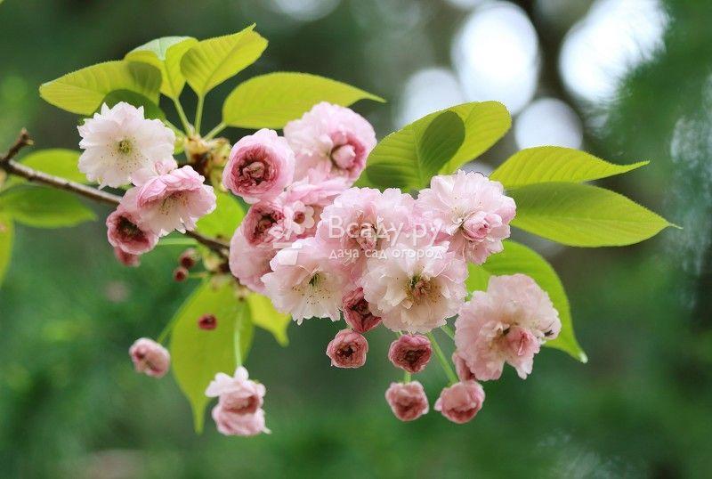 Цветущая вишня в саду весной