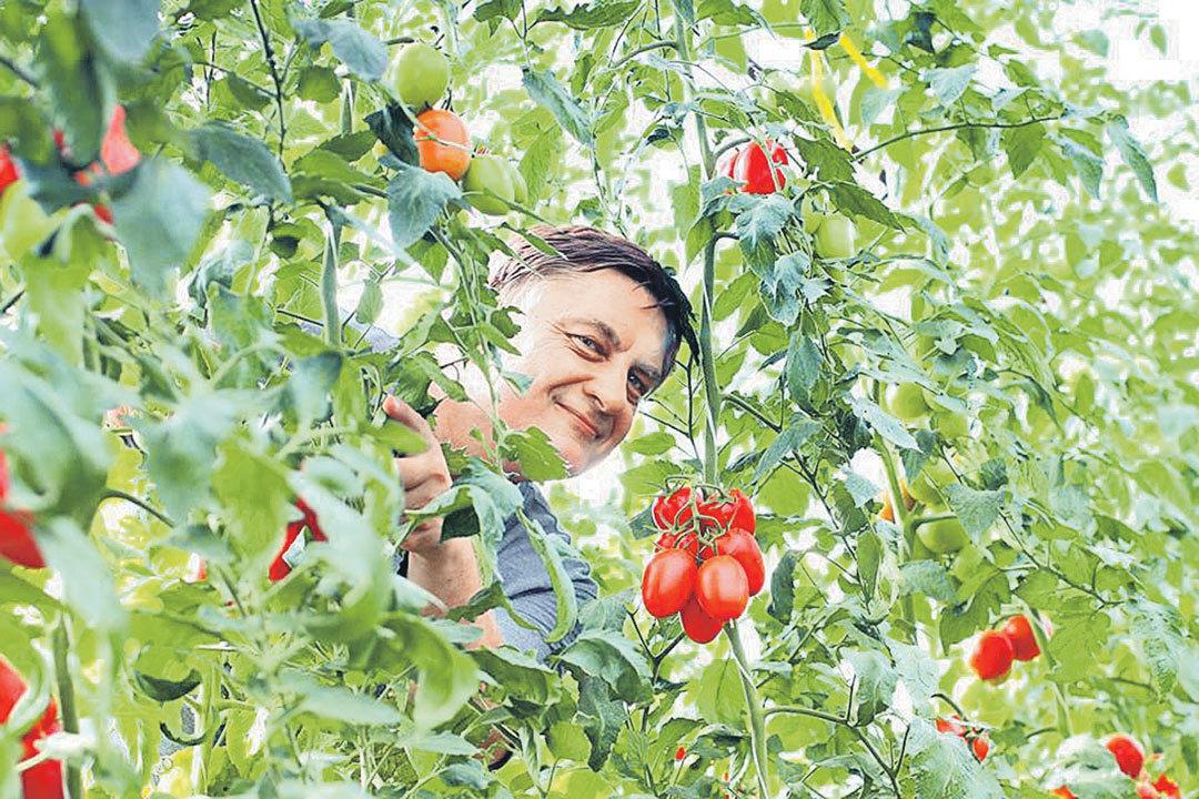 Расти, томат, мясист и богат