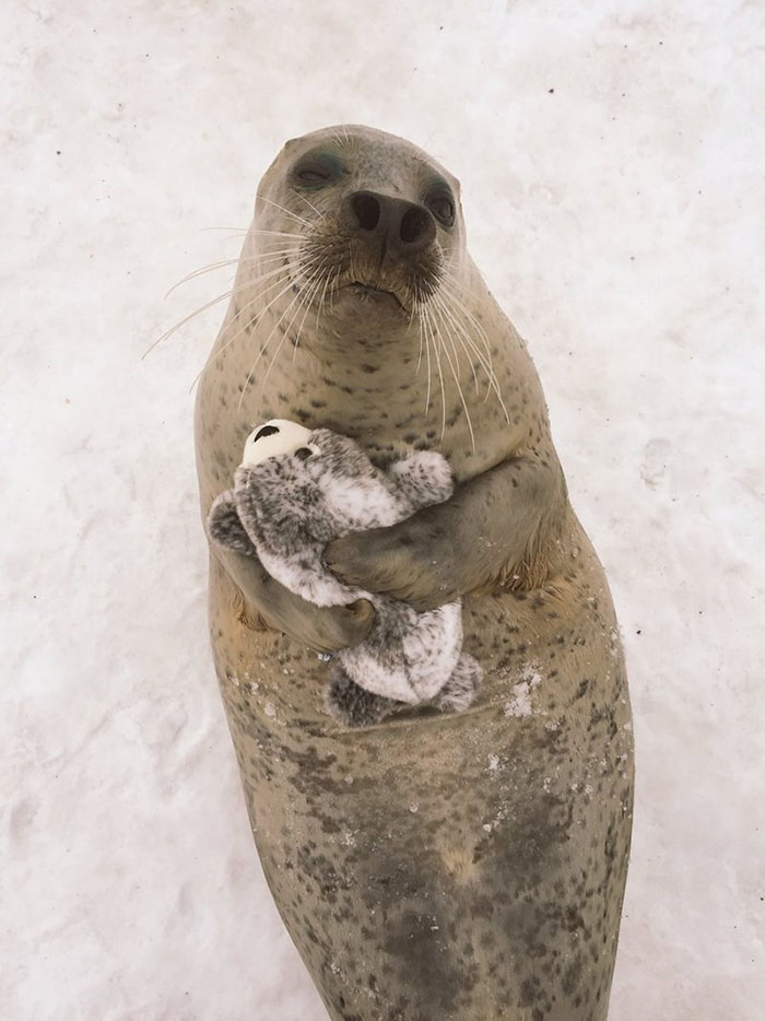 Seal Finds Toy Version Of Itself, Can't Stop Hugging It